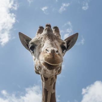 Free Stock Photo of Lonely Giraffe