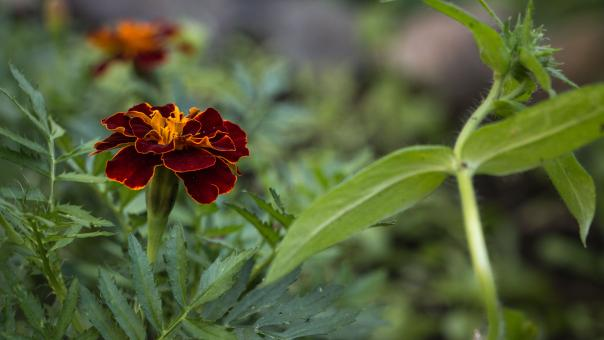 Free Stock Photo of Red Tagetes