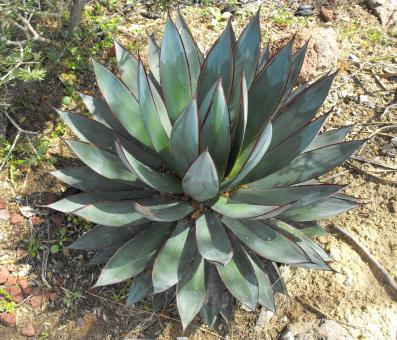 Free Stock Photo of Thorny Agave