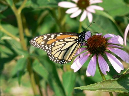 Free Stock Photo of Monarch Butterfly on Flower