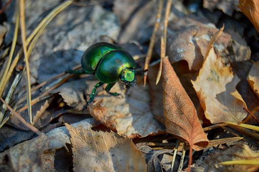 Free Stock Photo of Green dor-beetle on fallen leaves