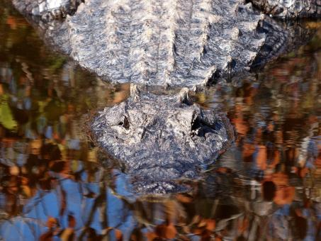 Free Stock Photo of Alligator in the River