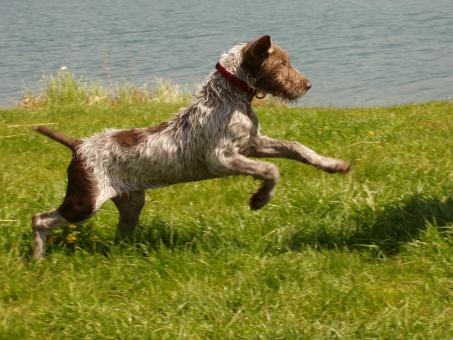 Free Stock Photo of Slovakian Pointer