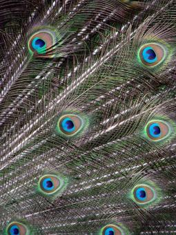 Free Stock Photo of Peacock Feathers