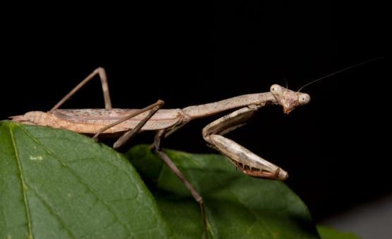 Free Stock Photo of Praying Mantis