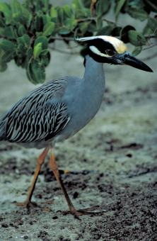 Free Stock Photo of Yellow Crowned Heron