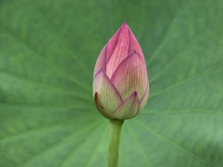 Free Stock Photo of Lotus Bud