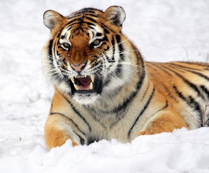 Free Stock Photo of Fierce Tiger
