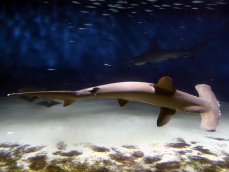 Free Stock Photo of Hammerhead Shark
