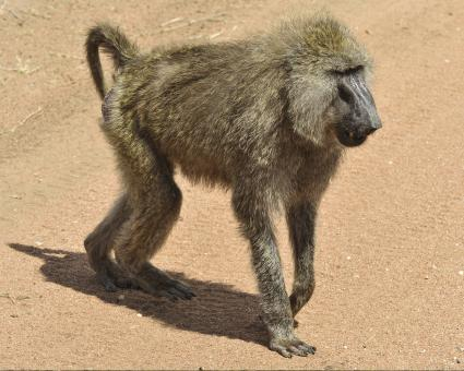 Free Stock Photo of Wild Baboon