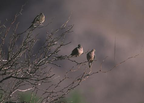 Free Stock Photo of Mourning Doves