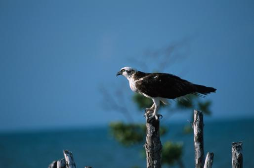 Free Stock Photo of Osprey on the Branch
