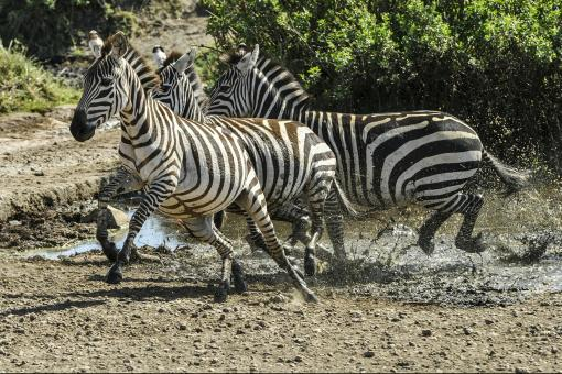 Free Stock Photo of Wild Zebras