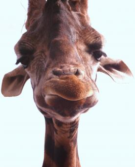 Free Stock Photo of Giraffe Closeup
