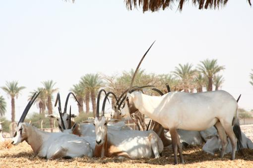 Free Stock Photo of Arabian Oryx