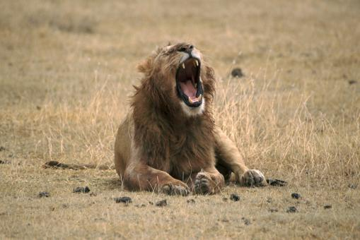 Free Stock Photo of Lion Roaring