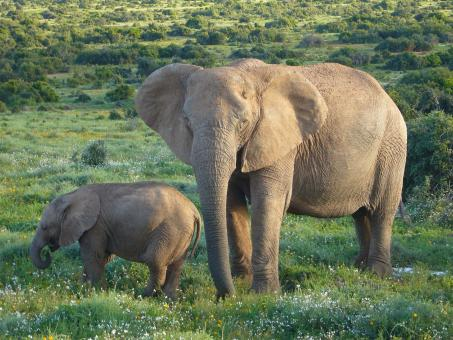 Free Stock Photo of African Elephants