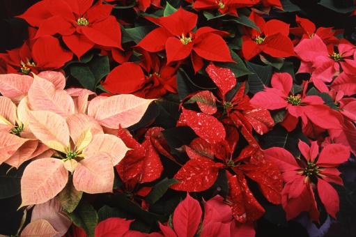Free Stock Photo of Poinsettias in the Garden