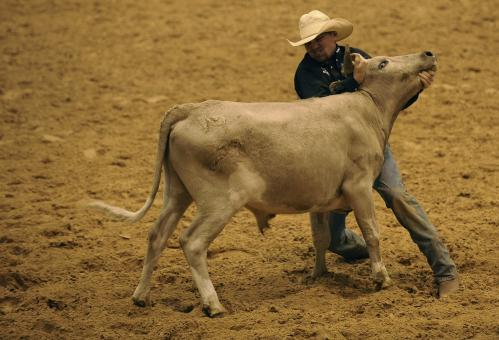 Free Stock Photo of Taming the Bull