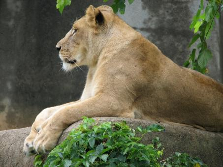 Free Stock Photo of Lion in the Zoo