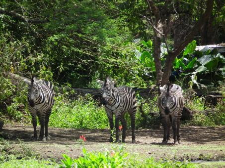 Free Stock Photo of Herd of Zebra