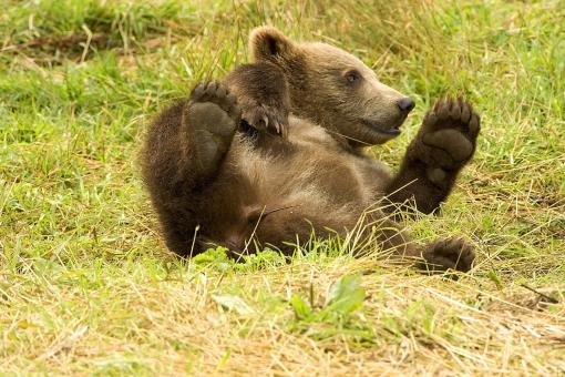 Free Stock Photo of Bear Cub