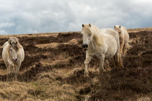 Free Stock Photo of Welsh Horses in Spring
