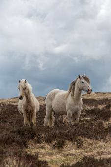 Free Stock Photo of Pregnant Welsh Wild Mountain Ponies