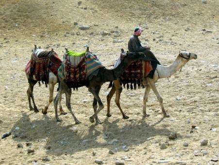Free Stock Photo of Camel Herder