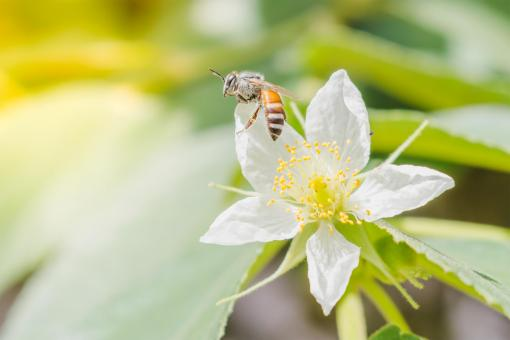 Free Stock Photo of A honey bee with flower