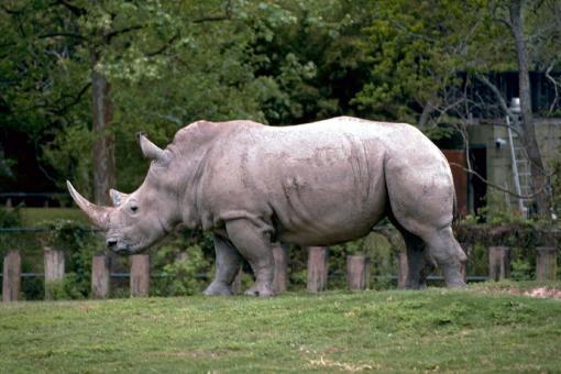 Free Stock Photo of Rhino in the Zoo