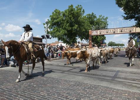 Free Stock Photo of Cowboy Leading Bulls