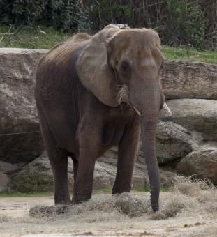 Free Stock Photo of Elephant in the Zoo