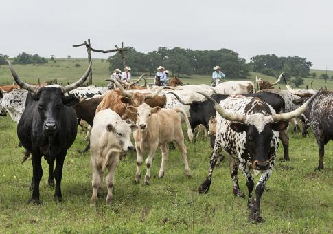 Free Stock Photo of Longhorn Cattle