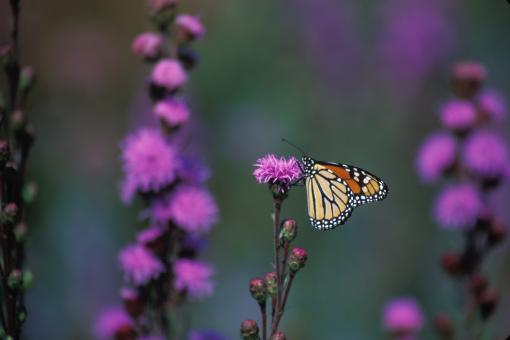 Free Stock Photo of Monarch Butterfly on the Flower