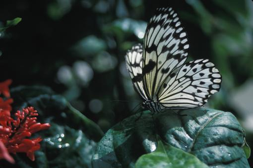 Free Stock Photo of Rice paper Butterfly