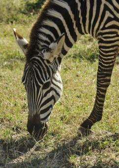 Free Stock Photo of Zebra in the Zoo