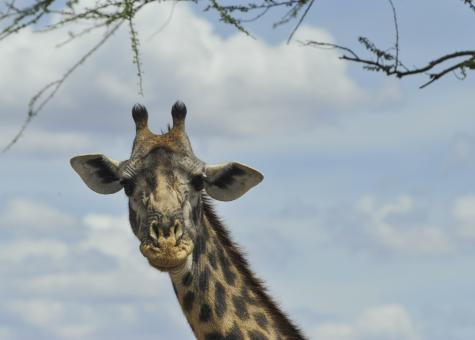 Free Stock Photo of Giant Giraffe