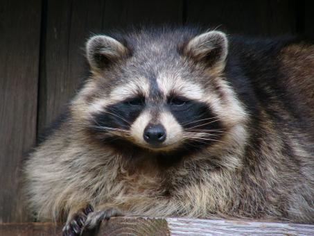 Free Stock Photo of Raccoon in the Zoo