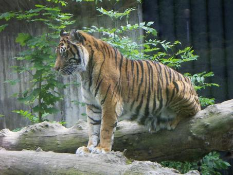 Free Stock Photo of Tiger in the Zoo