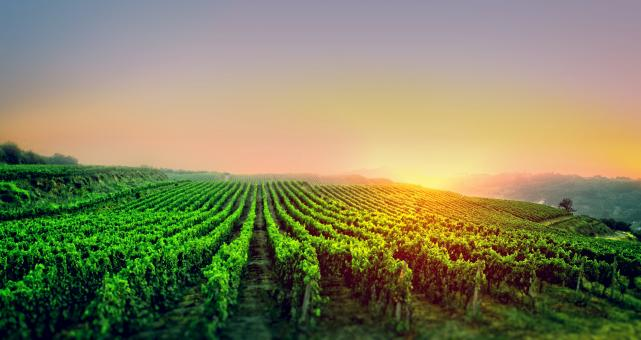 Free Stock Photo of Sunrise Over the Vineyard