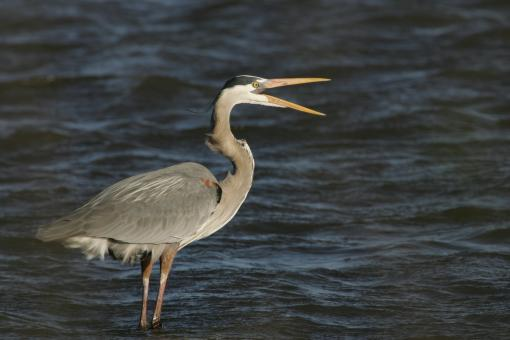 Free Stock Photo of Blue Heron in the River