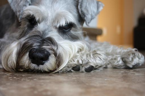 Free Stock Photo of Lazy Schnauzer