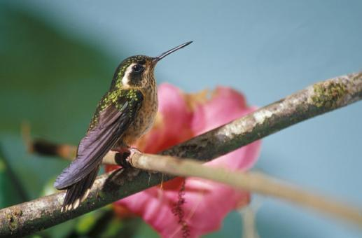 Free Stock Photo of Speckled Hummingbird