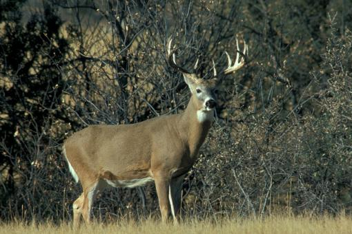 Free Stock Photo of White Tail Deer
