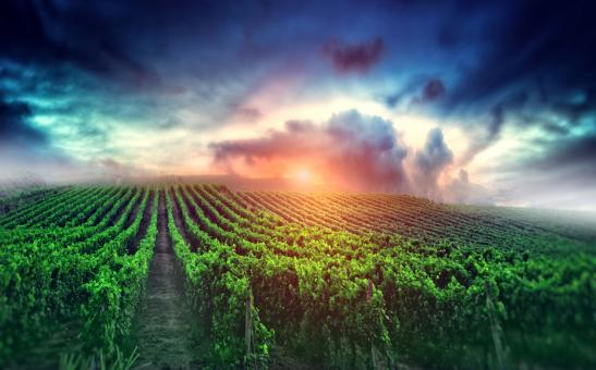 Free Stock Photo of Cloudy Sunrise over the Vineyard