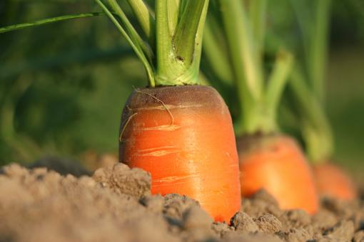 Free Stock Photo of Carrot growth
