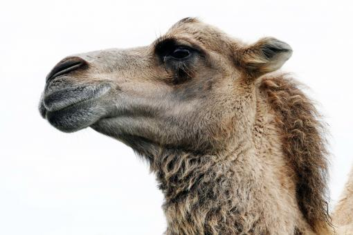 Free Stock Photo of Camel Portrait