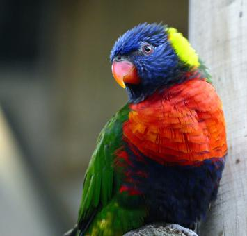 Free Stock Photo of Rainbow Lorikeet Portrait