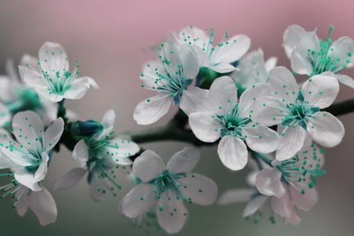 Free Stock Photo of Teal Blossom Flowers